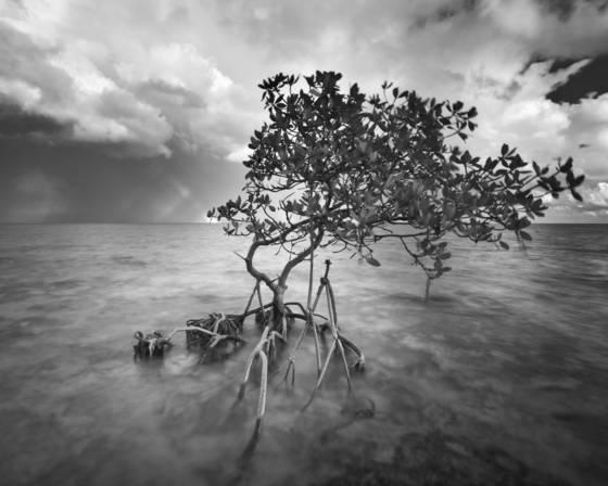 Red_mangrove