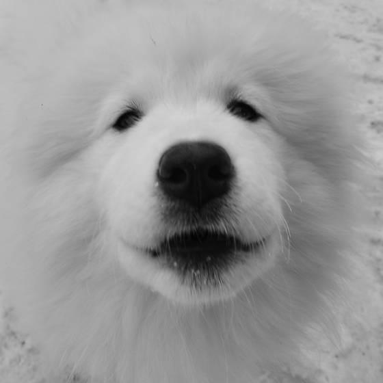 Samoyed_pup