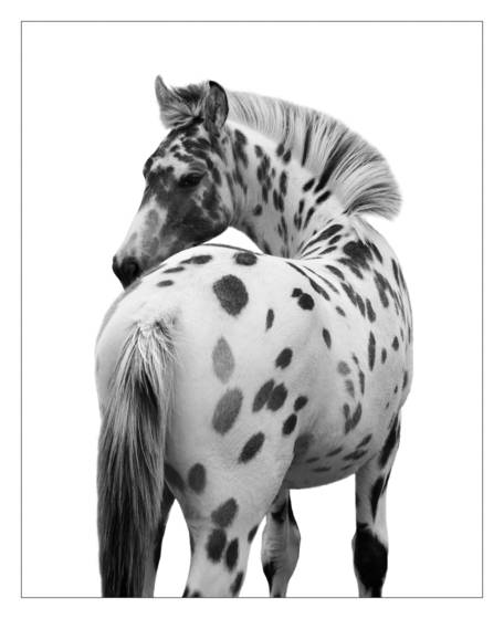 Leopard_appaloosa