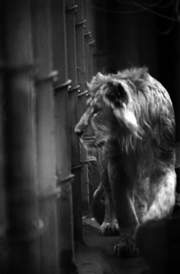 Lion_jr