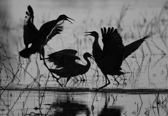 Dancing_cranes