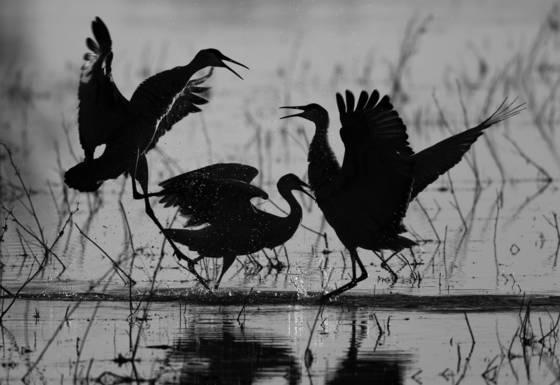Dancing_cranes