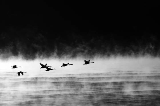 Swans_in_the_mist