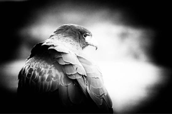 Alpha_falcon