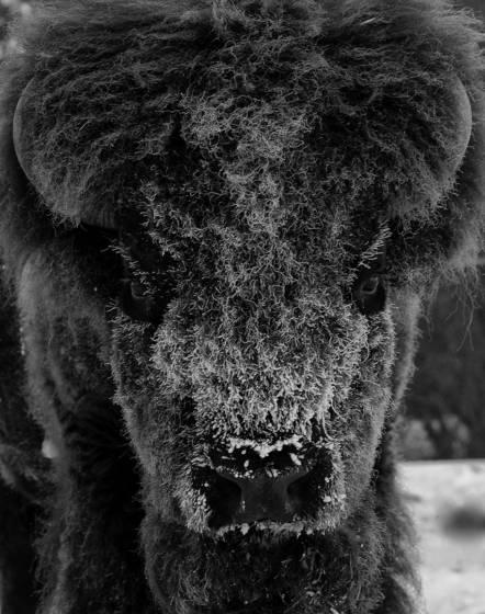 Bull_bison