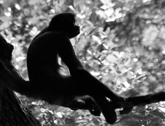 Spider_monkey_evening