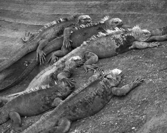 Marine_iguanas