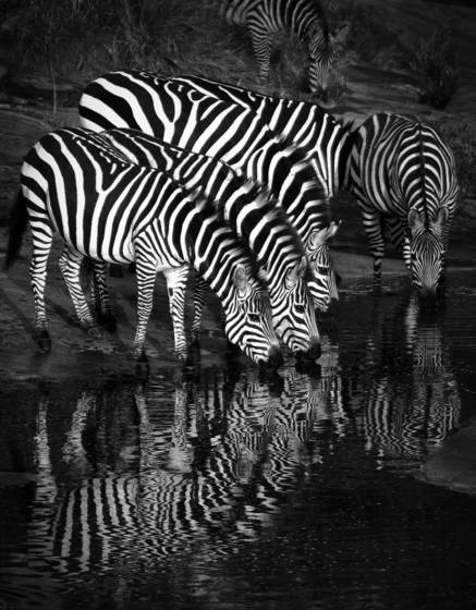 Zebra_reflections