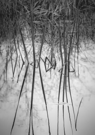 Reeds_at_solitude_swale