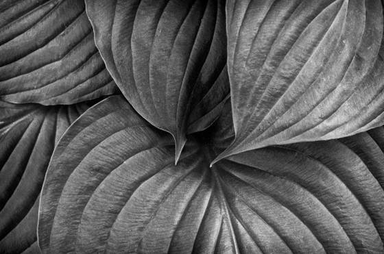 Hosta_leaves