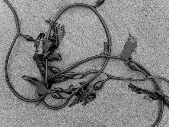Looped_kelp