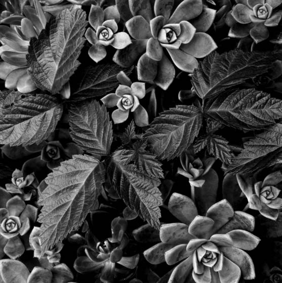Succulents___berry_leaves