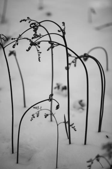 Ferns_in_snow