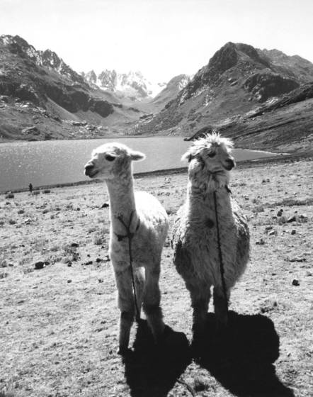 Two_llamas