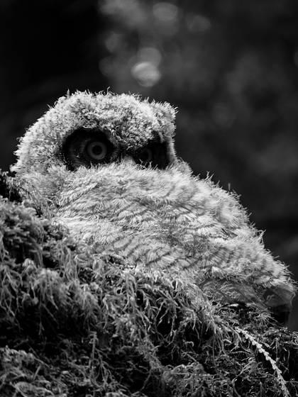Baby_owl_1