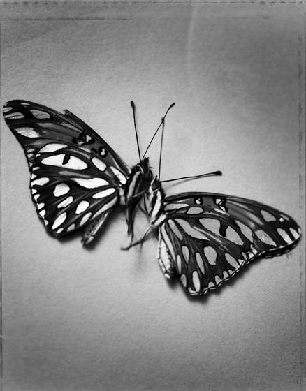 Butterfly_wings_2