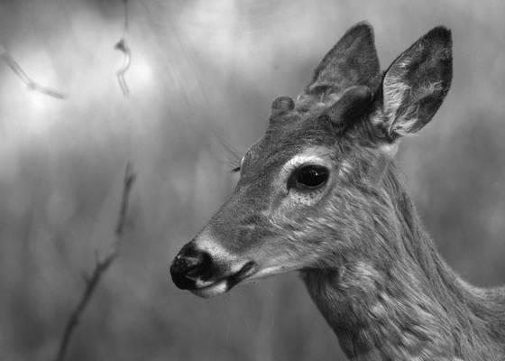 Curious_deer