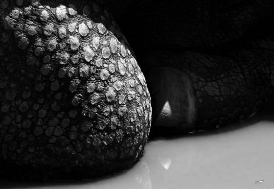 Resting_rhinoceros