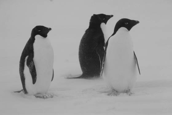 Adelie_penguins