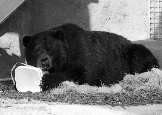 Bear_with_bucket