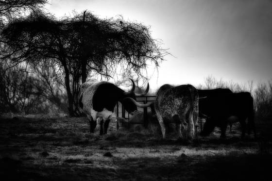 Cattle_feeding
