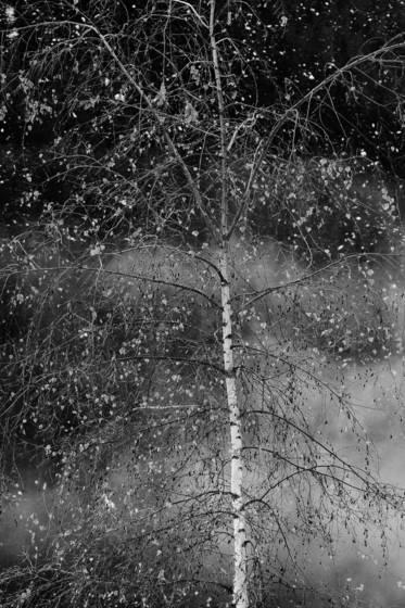 Birch_tree_in_winter
