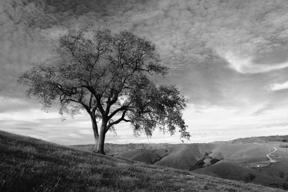 The_lone_sloped_oak