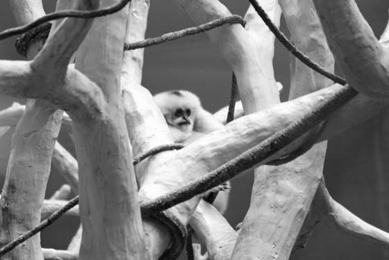 White_cheeked_gibbon