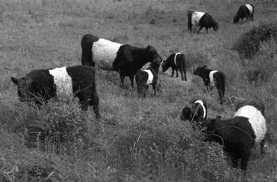 Galloway_cows