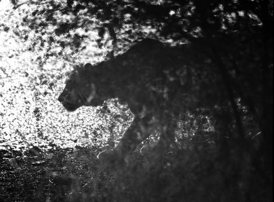 Stalking_tiger