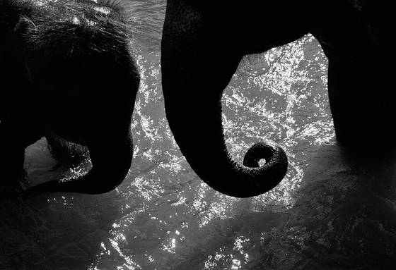 Two_elephants