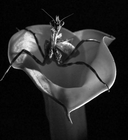 Guarding_nectar__texas_unicorn_mantis_