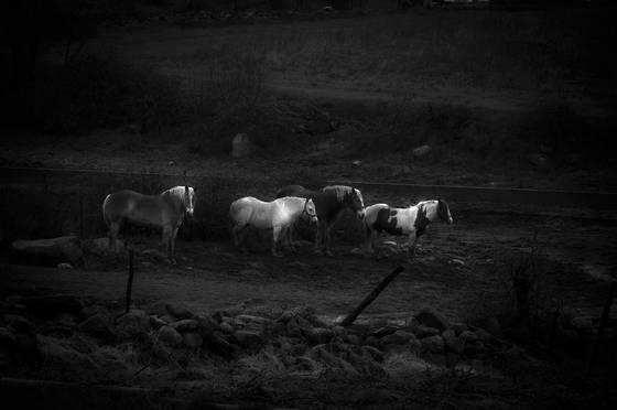 Horses_in_the_rain
