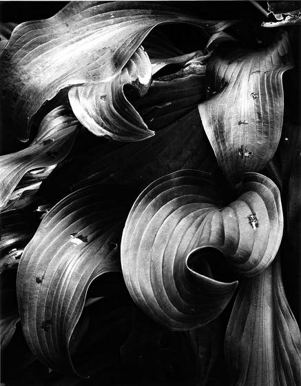 Hosta_leaves_no_1