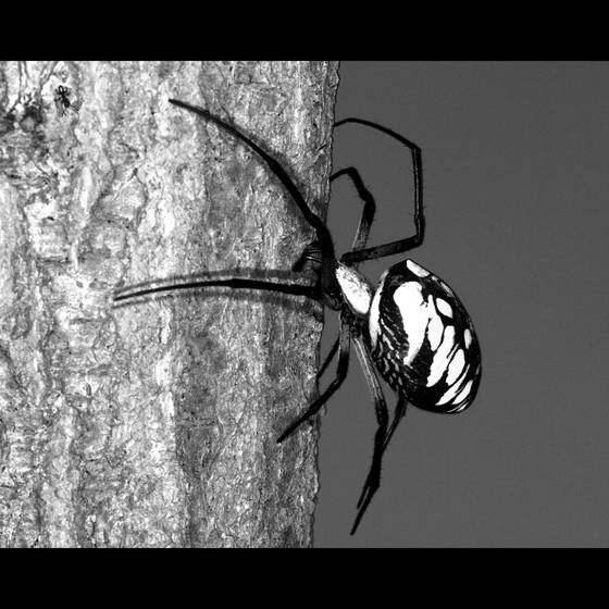 Argiope_spider_and_ant