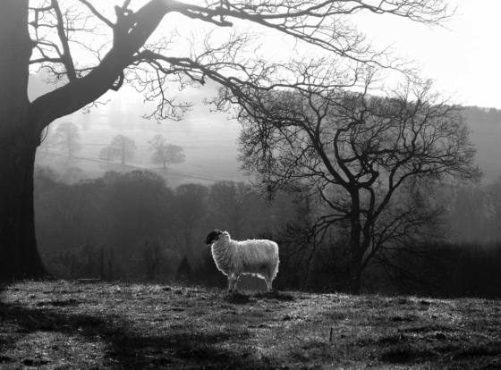 Sheep_in_the_pasture