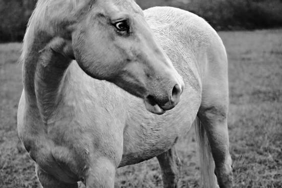 White_horse