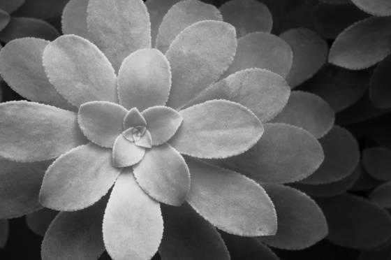 Flor_de_piedra