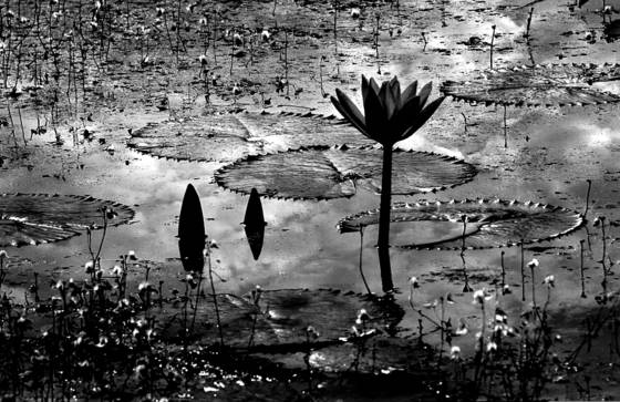 Royal angkor wat waterlily