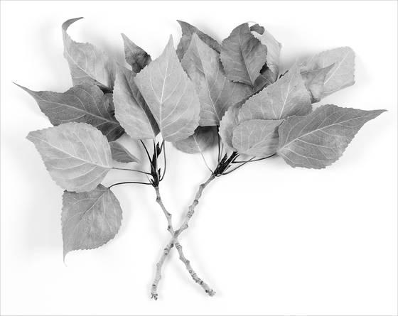 Cottonwood_leaves