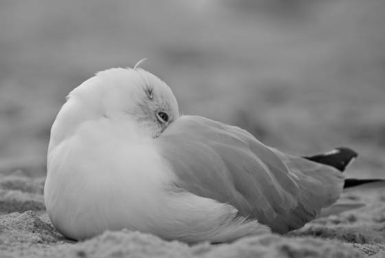 Resting_seagull
