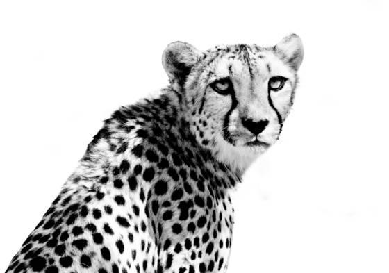 Cheetah_i