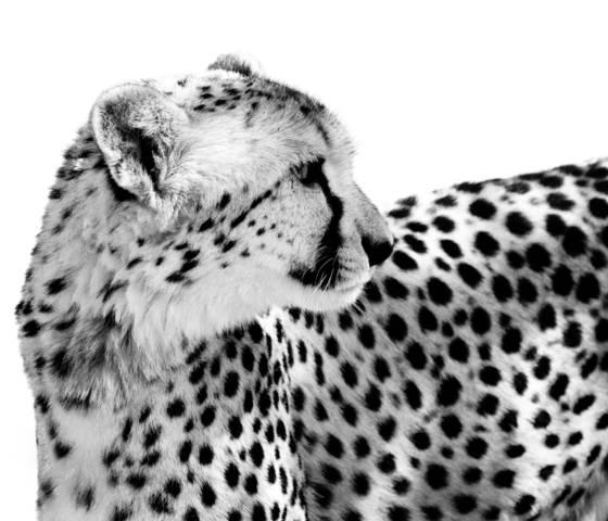 Cheetah_ii