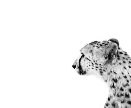 Cheetah_iii