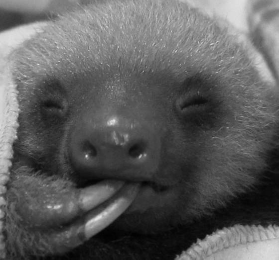 Baby_sloth_sucking_toe_falling_asleep