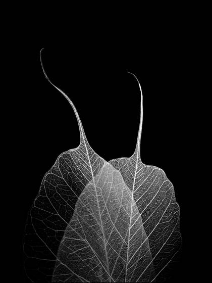 Two_leaves