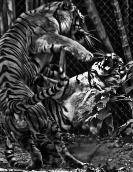 Tiger_love