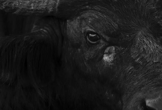 African_buffalo
