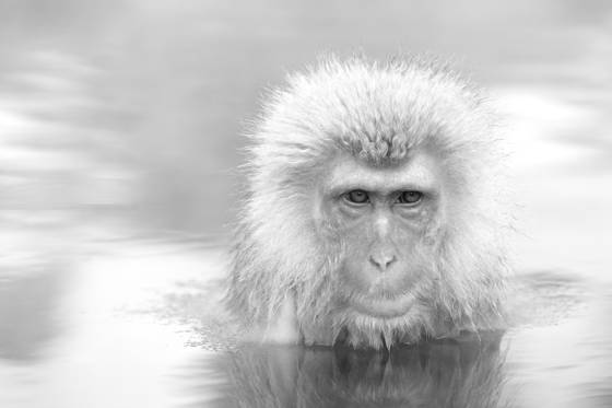 Japanese_macaque_in_hot_spring