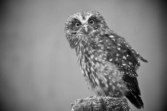 Morepork_owl